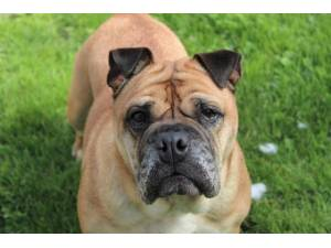 Farley - Female Bulldog: English Photo