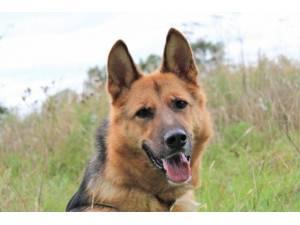 Roxy - Female German Shepherd Dog (GSD / Alsatian) Photo