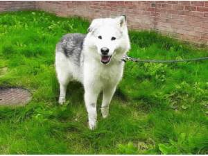TIMBER - Husky (Siberian)  crossbreed Photo
