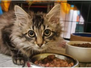 FERAL CATS SEEK WORK - Domestic Shorthair  crossbreed Photo