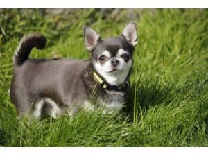 Enrique - Male Chihuahua: Short Hr Photo