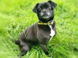 Lily - Female Pug Photo