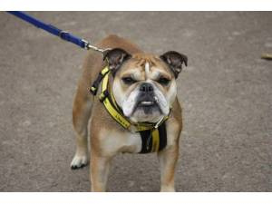 Nala - Female Bulldog: English Photo