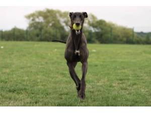 Olsen - Male Greyhound Photo