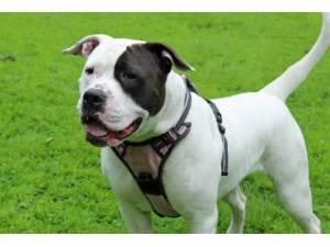 Skye - Female American Bulldog Photo