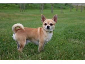 Charlie - Male Chihuahua: Short Hr Photo
