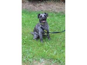 Freddy - Male Patterdale Terrier Photo