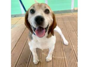 Logic - Male Beagle Photo