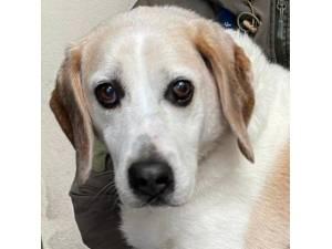 Kettle - Female Beagle Photo