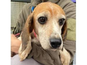 Gibby - Female Beagle Photo