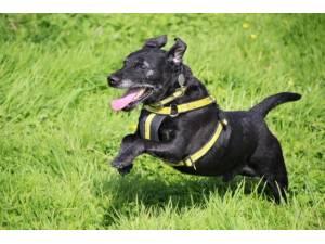 Billy - Male Patterdale Terrier Photo