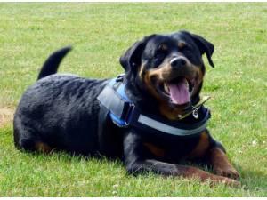 Brodus - Male Rottweiler Photo
