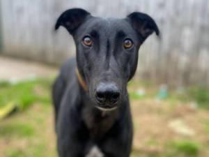 Frankie - Male Greyhound Photo