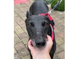 Beanz - Female Greyhound Photo