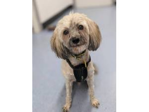 Brody - Male Chinese Crested Dog Photo