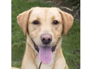 Bumper - Male Labrador Photo