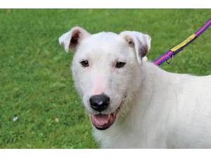 Davie - Male Terrier: English Bull Photo