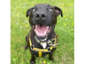 Jet - Male Patterdale Terrier Photo