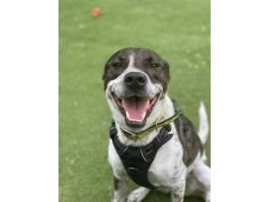 Lola S - Female Staffordshire Bull Terrier (SBT) Photo