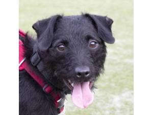 Marley - Male Patterdale Terrier Photo