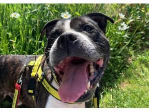 Oscar - Male Staffordshire Bull Terrier (SBT) Photo