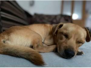 TACO - Chihuahua (Smooth coat)  crossbreed Photo