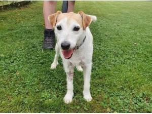RYLEE - Parson Jack Russell Terrier Photo