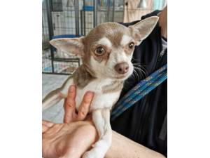 Ellie - Female Chihuahua Photo