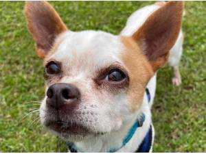 STUART - Chihuahua Photo