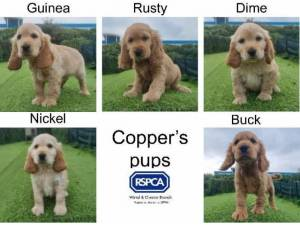 COPPERS PUPS - Cocker Spaniel  crossbreed Photo