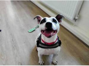 SNOOPY - Staffordshire Bull Terrier Photo
