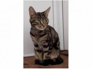 GIZMO - Domestic Shorthair  crossbreed Photo