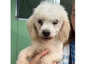 Rocky - Male Bichon Frise Cross Poodle Photo