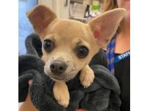 Gaza - Male Chihuahua Photo