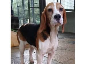 Alice - Female Beagle Photo