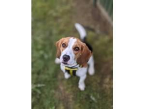 Bailey Beagle - Male Beagle Photo