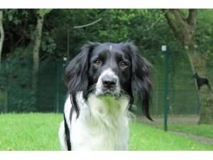 Benny - Male Spaniel: English Springer Photo
