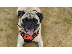 Benson - Male Pug Photo
