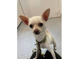 Bonita - Female Chihuahua: Short Hr Photo