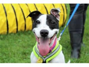 Cassie - Female Terrier Cross Photo