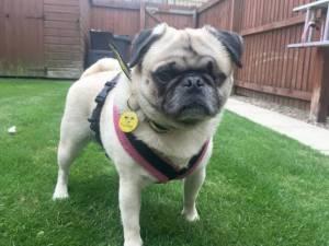 Charlie - Male Pug Photo