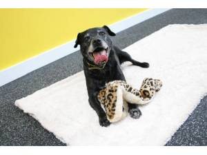 Elvis - Male Patterdale Terrier Photo