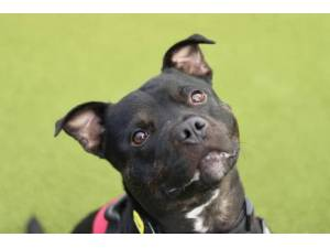 King - Male Staffordshire Bull Terrier (SBT) Photo