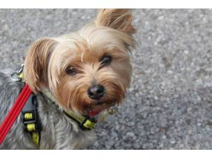 Koko - Female Terrier: Yorkshire Photo