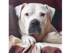Major - Male American Bulldog Photo