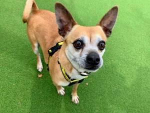 Max - Male Chihuahua: Short Hr Photo