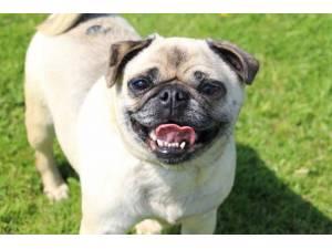 Meghan - Female Pug Photo