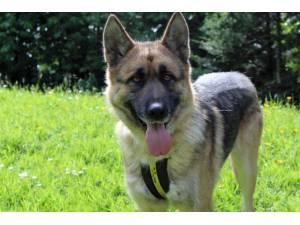 Toby - Male German Shepherd Dog (GSD / Alsatian) Photo
