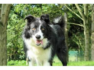 Jimmy - Male Border Collie Photo