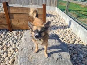 Dasher - Male Chihuahua: Long Hr Photo
